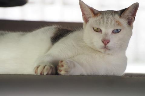 オッドアイの三毛猫