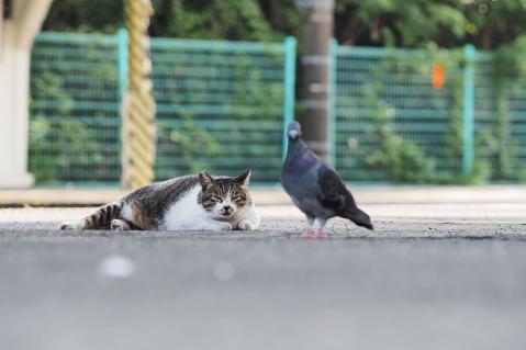 鳩とキジ白