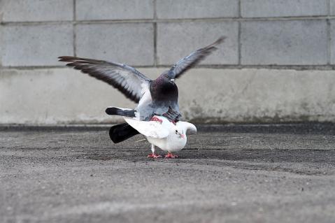 鳩のマウンティング