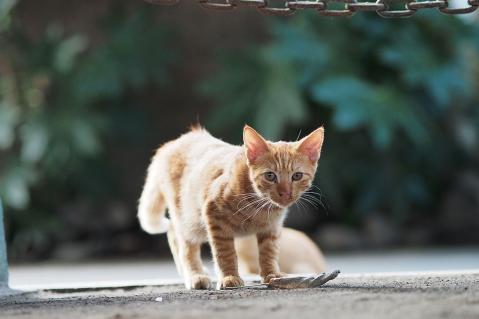 ブラウンタビーの子猫