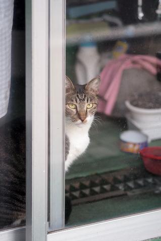 お店の中から覗く猫