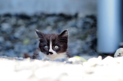 ハチワレの子猫
