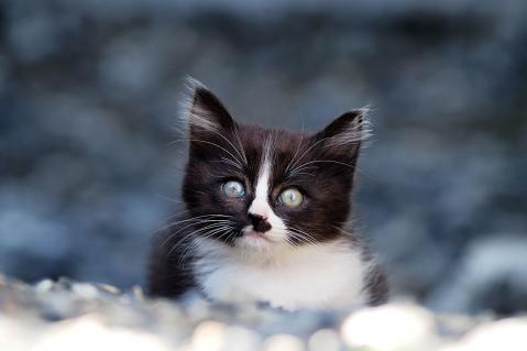ハチワレ子猫