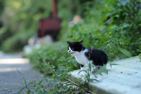 ハチワレの仔猫