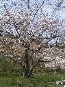 ロイヤル桜1