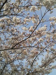 ロイヤル桜3