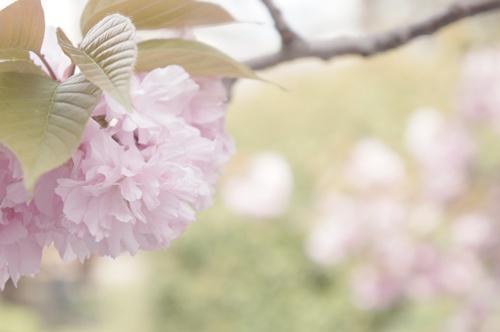 八重桜003