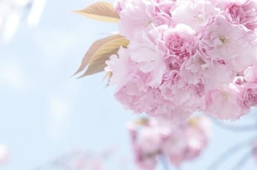 八重桜002