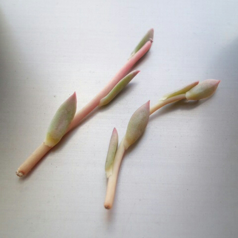 ニバリス 花芽