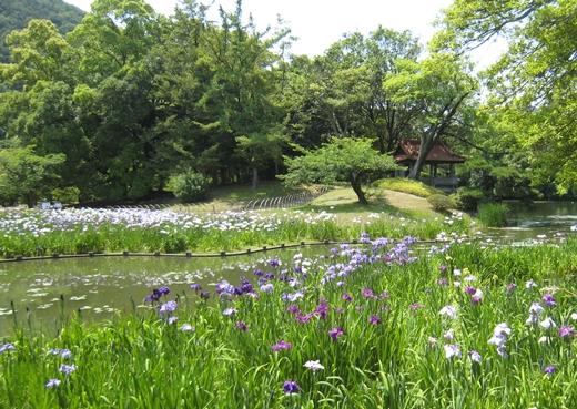栗林公園 菖蒲園