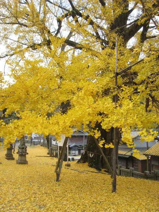 岩部八幡神社のイチョウ