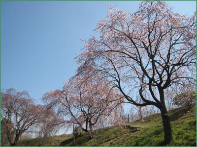 園芸総合センターのしだれ桜 クリック拡大