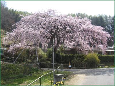 堀池のしだれ桜 クリック拡大