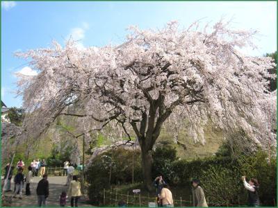 堀池の桜 クリック拡大