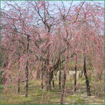 想い出桜 クリック拡大