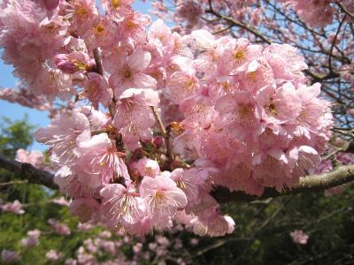 青海神社下の寒緋桜 クリック拡大