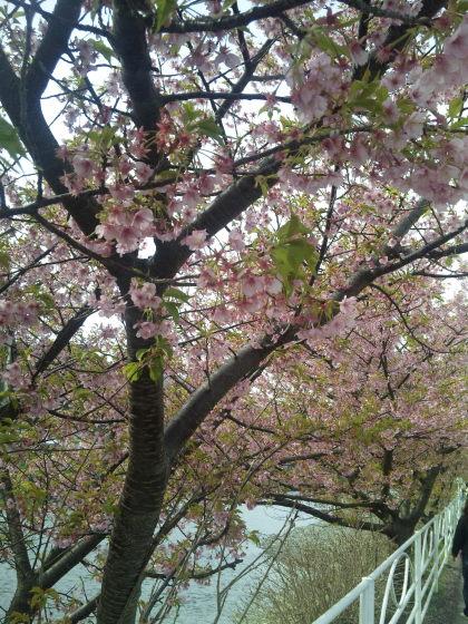 2月に咲き誇る桜