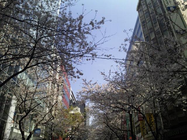 八重洲通りの桜★