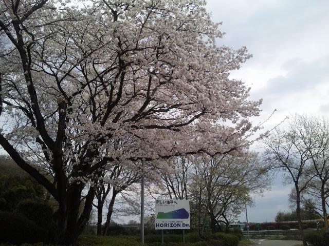 パーキングに咲く桜