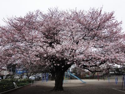 桜2010 1