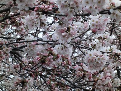 桜2010年 2