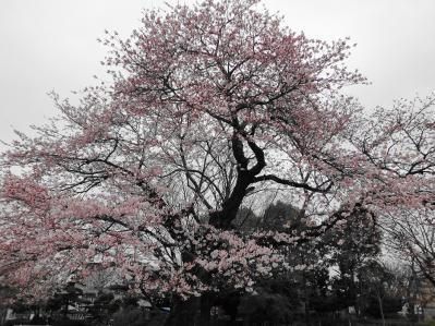 桜2010年 3
