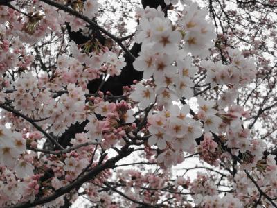 桜2010年 4