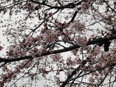 桜2010年 6