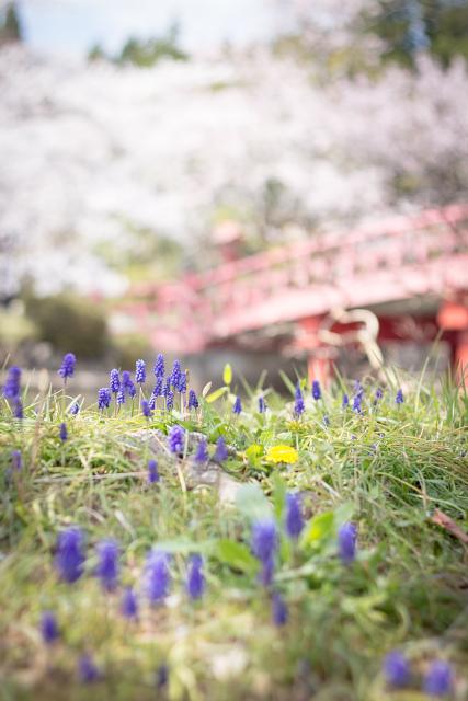 桜の季節に、こんなにも映える紫