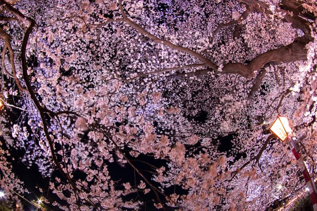 夜風に揺れる満天の夜桜