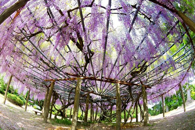 大きな藤の木