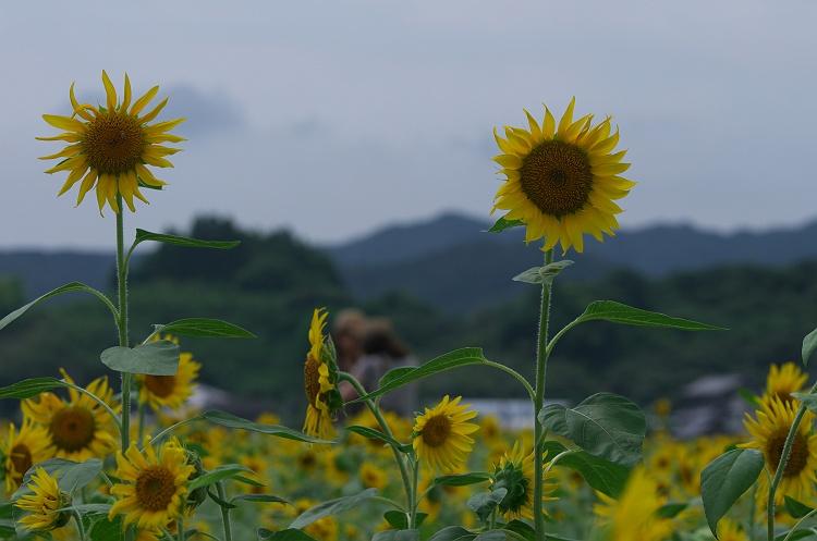向日葵が満開! 3