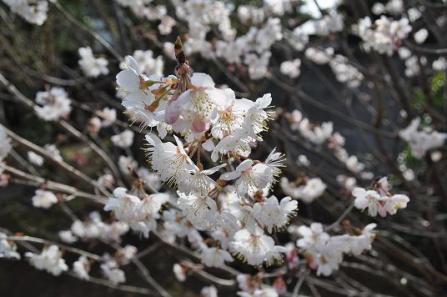22HOYA庭桜