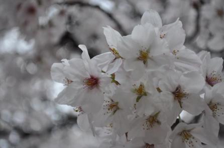 ショット079桜
