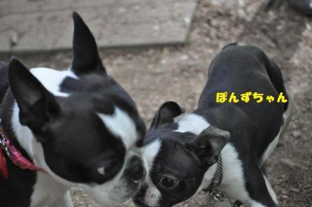 ぱぴっこぽんずちゃん163