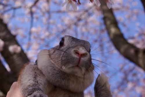 桜とブンちゃんIMGP3258
