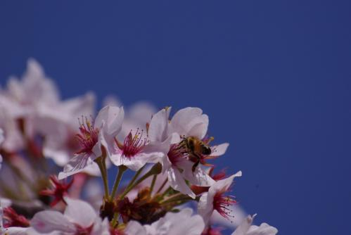 桜と蜜蜂IMGP3133
