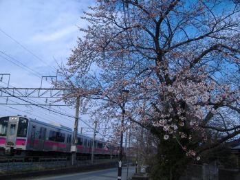 20110425fukurasakurato530m.jpg