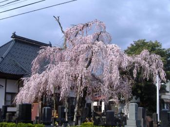 20110425mototatesakurano2.jpg