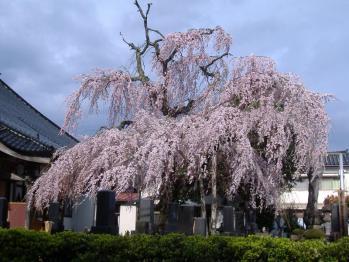 20110425mototatesakura.jpg