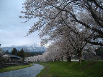 20110427araisawagawanakayamasakurazutumi3.jpg