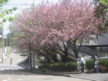 03八重桜(赤と白)遠景S