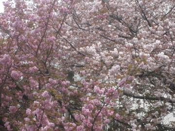 04八重桜(赤と白)拡大S