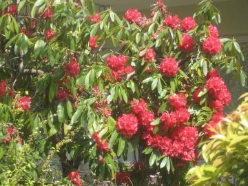 06ご近所の石楠花S