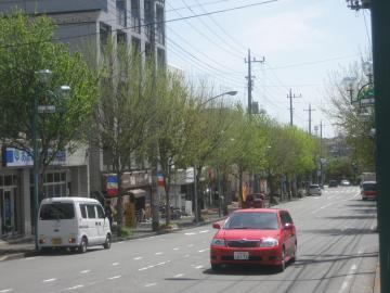 12芽吹き中の街路樹S