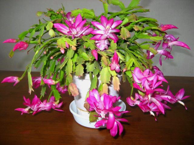 20101206 Christmas Cactus
