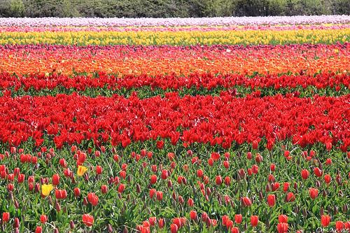 Tulip de la Torche