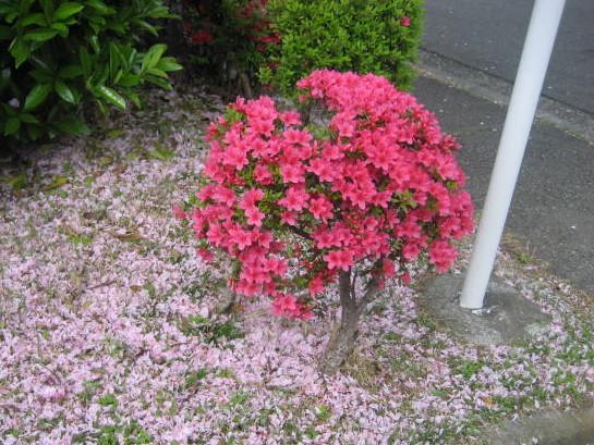 桜散る006