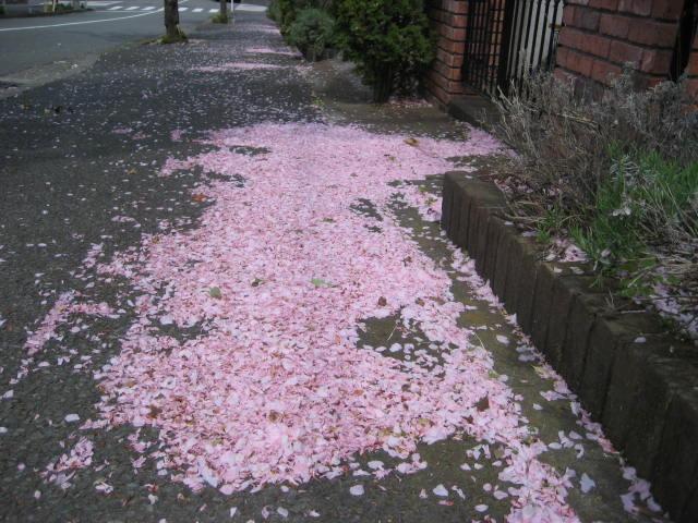 桜散る004