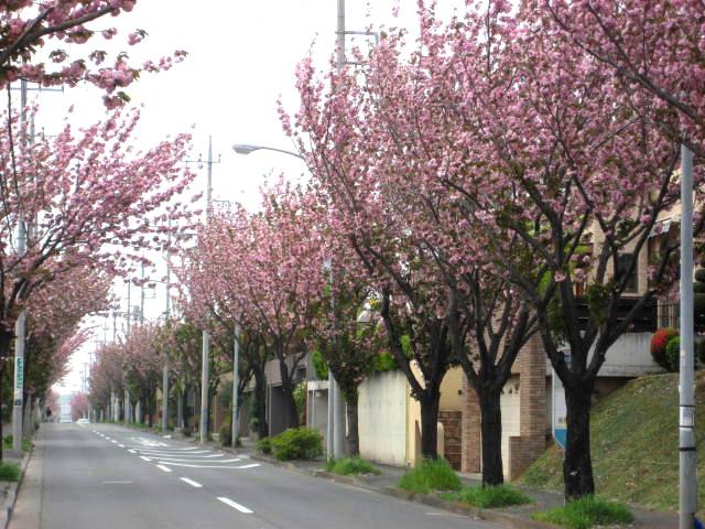 桜散る001